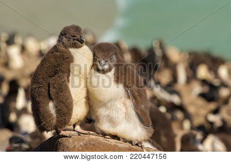 Two juvenile rockhopper penguins standing on a stone in the penguin colony on the shoreline of Falkland islands. Panoramic Falkland nature view.