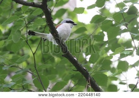 shrike. Lesser grey shrike or Lanius minor perches on a branch of a tree. Ukraine, 2017. Red-backed shrike. Measuring 17 centimetres in length, the red-backed shrike (Lanius collurio) is slightly larger than a house sparrow. They have a bluish-grey head,