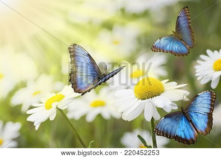 Blue butterflies in the foreground flying in a sunny meadow with white daisies