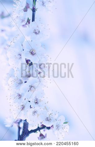 Blurred out-of-focus cherry-tree flowers in the morning mist as a blurred floral background in blue tones (very shallow DOF, selective focus), copy space on the right