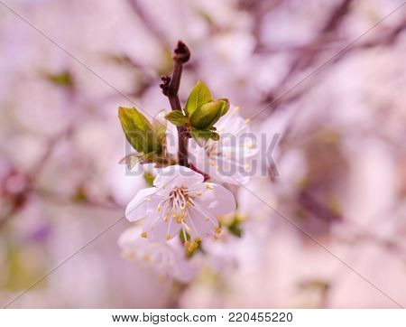 Blurred cherry-tree flowers in pink tones (shallow DOF, selective focus)