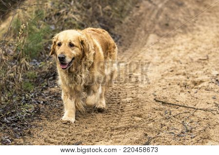 pedigree old golden retriever dog outdoor portrait