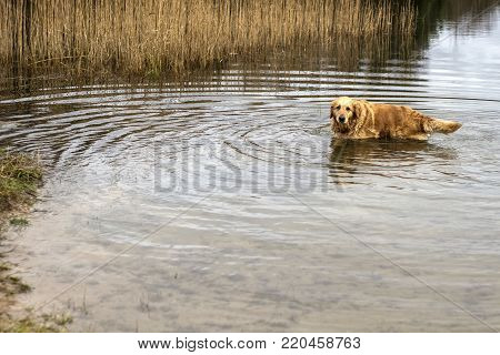 pedigree old golden retriever dog playing in water