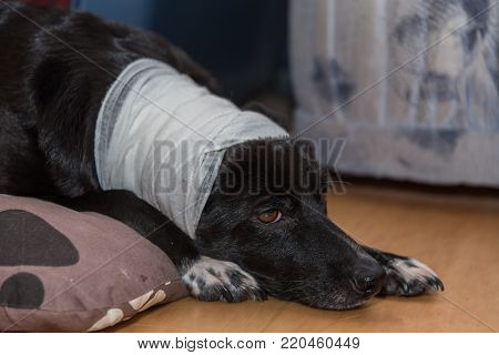 Faithful looking dog with wound on the head