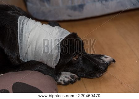 Head injured dog has a bandage - closeup wound care