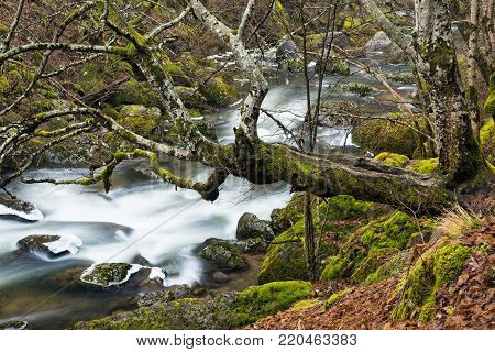 Moss covered tree and rocks in a stream of the Devinska river in Bulgaria during winter