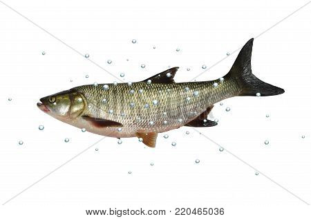 asp predatory freshwater fish with bubbles on white background