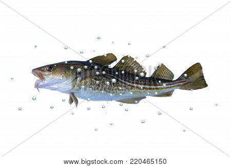 big cod fish with bubbles on a white background