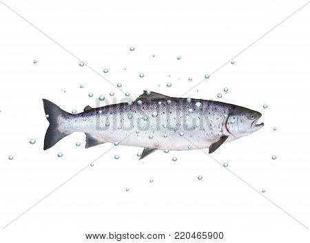 big fish salmon with bubbles on white background