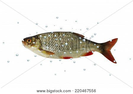 rudd fish with bubbles on white background