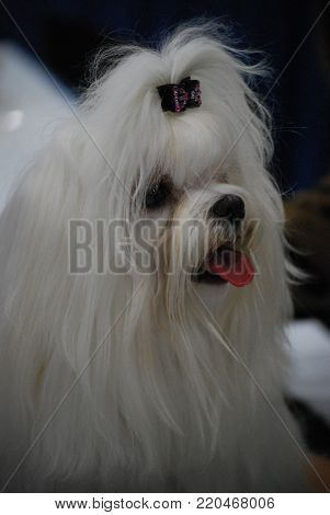 White matlese dog just after having been groomed.