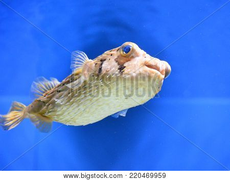 Globefish swimming under the water with quills close to the body.