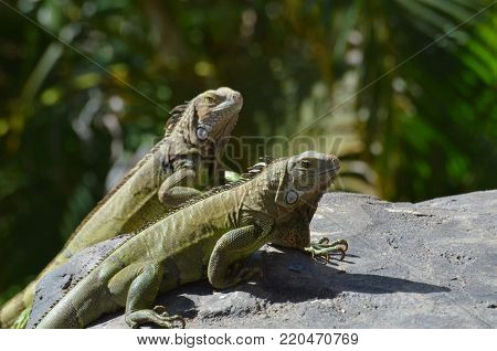 Pair of green iguanas sitting together on a rock.