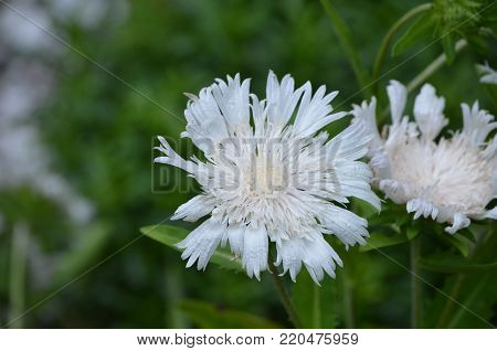Blooming white pincushion flowers in a garden.