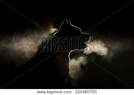 Silhouette of a breed of dog breeds American Staffordshire Terrier in backlight on a black background. Portrait of a dog that is steaming