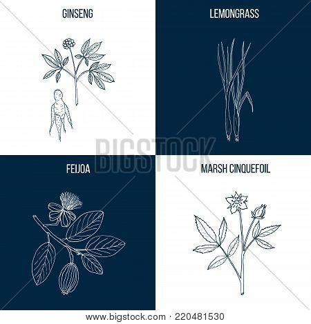Vector collection of four hand drawn medicinal and edible plants, ginseng, lemongrass, feijoa, marsh cinquefoil