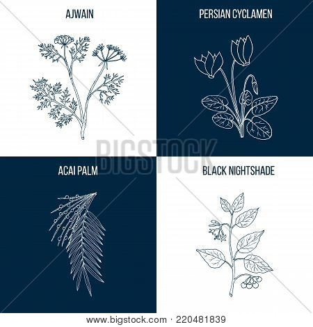 Vector collection of four hand drawn medicinal and edible plants, acai palm, black nightshade, ajwain, persian cyclamen