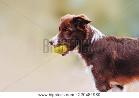 Beautiful chocolate breed border collie dog standing with a toy in his mouth. Portrait of a puppy on a neutral pastel background