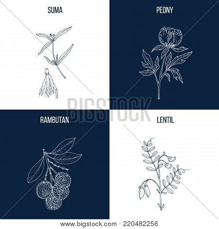 Vector collection of four hand drawn medicinal and eatable plants, suma, peony, rambutan, lentil poster