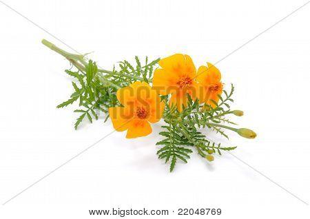 Marigold (Tagetes) Flowers