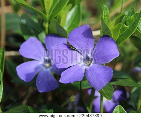 The beautiful purple flowers of Vinca minor also known as Lesser Periwinkle.