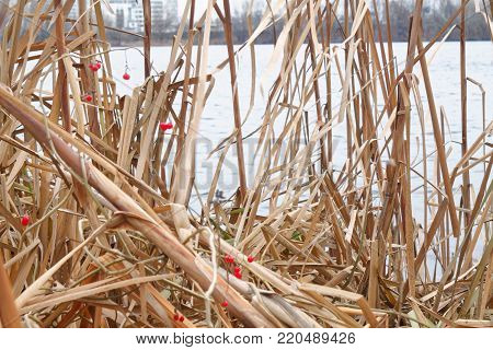 Reeds in the lake, Swaying Reed background for web site or mobile devices