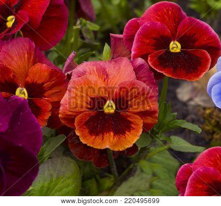 violet flower. Pansies. flower Pansy. Colorful pansies.