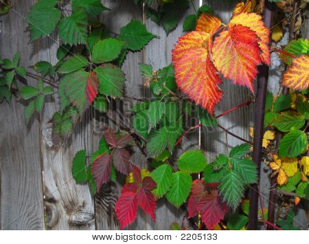 Fall Leaves On Fence