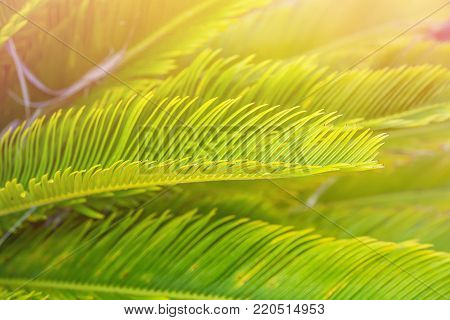 Bright Green Feather Like Leaves of Sago Cycad Palm Tree in Golden Pink Sunlight Flare. Tropical Foliage Botanical Background. Summer Vacation Relaxation Concept. Poster Banner Template