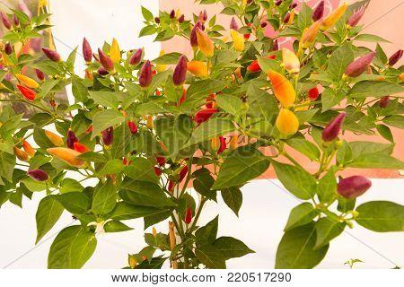 Chilli Pepper Bush