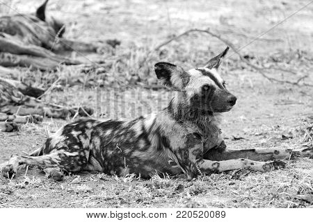 Wild dog  Lycaon Pictus resting on the dry african savannah in black & white. South Luangwa, Zambia, southern africa