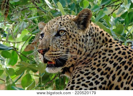Close up of an African Leopard (Panthera Pardus) resting in a vibrant green tree in South Luangwa National Park - Zambia, Southern Africa