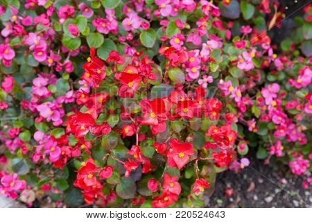 Colorful Wax Begonia flower in pink red with yellow stamen blossoming in garden