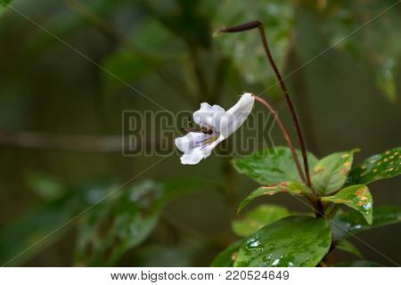 Small white flower of Codonoboea hirta with purple yellow color inside, growing in forest at fraser's hill, Malaysia, South east Asia