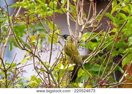European green woodpecker bird perching on Elderberry tree during Autumn in Austria, Europe (Picus viridis)
