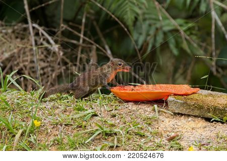 Cute common Tree Shrew eating ripe papaya at Fraser's hill, Malaysia, Asia. Treeshrew is small mammal in reddish-brown with long nose.