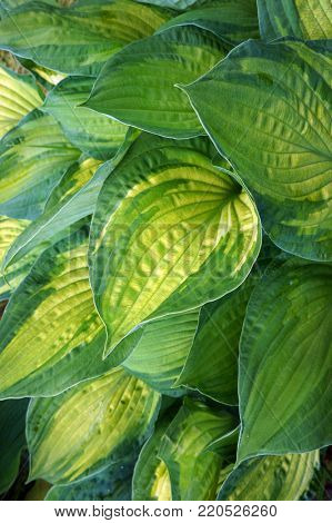 Lush foliage of decorative plant Hosta (Funkia). Natural green background.