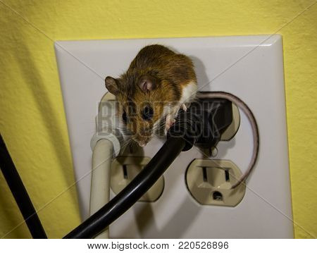 A side view of a brown wild house mouse on top of a black wire which is plugged into a wall socket.  The wall behind is yellow and the wires tan and black with a white socket cover.