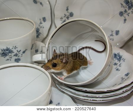 A wild brown house mouse escaping from a tipped over blue and white fancy tea cup.  Piles of dishes surround him in this kitchen cabinet.