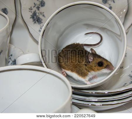 A side view of a wild brown house mouse curled up in a white and blue china tea cup.  Stacks of dishes surround him in this kitchen cabinet