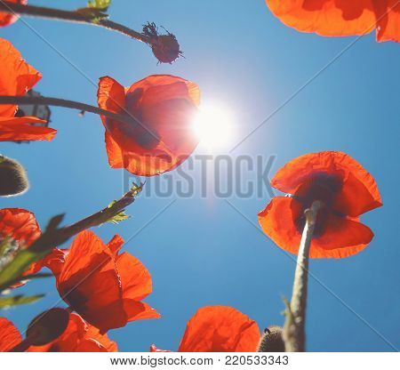 low wide angle view of poppies with the sun directly overhead creating lens flare toned with a retro vintage matte instagram filter