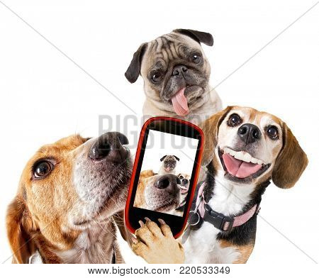 cute beagle looking at the camera while taking a selfie with another beagle and a pug on isolated white background studio shot