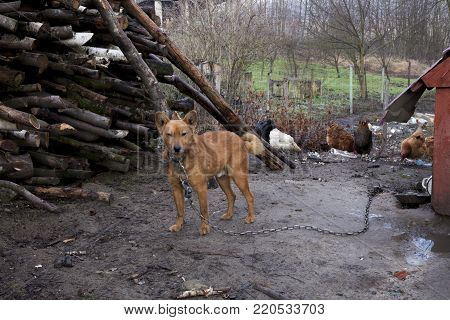 Frightened mongrel dog on a chain. Dog on a leash countryside rural area
