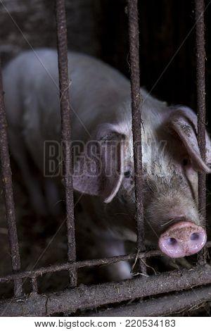 Overview of pig breeding farms. pigsty, farm