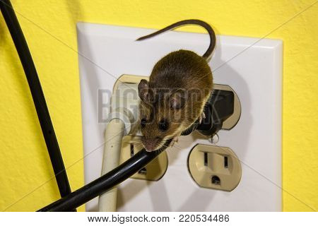 A brown house mouse balancing on a black wire.  His tail is in the air and he is leaving a four circuit outlet with tan and black wires coming off. The wall behind is yellow.