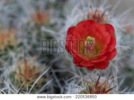 Claret Cup Cactus Flower with Bokeh Background with copy space to left