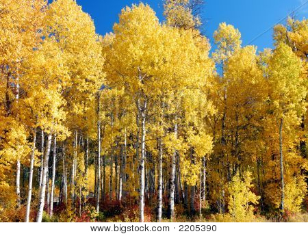 White Birch Trees In The Fall