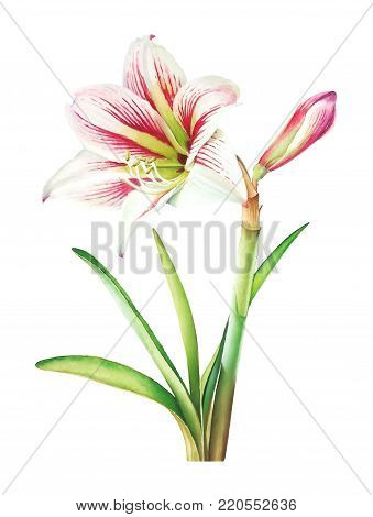 Watercolor realistic botanical illustration of the amaryllis plant with white flower and green leaves on white background.