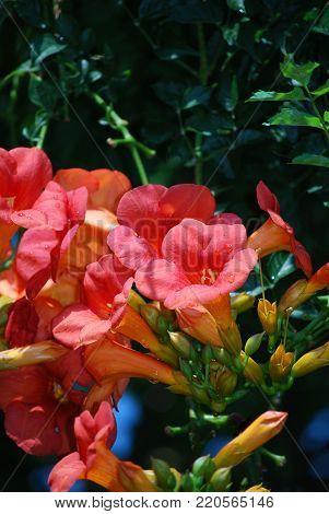 Pretty climbing pink trumpet vine flowers in a garden.