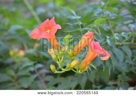 Garden with budding and blooming trumpet vine flowers.